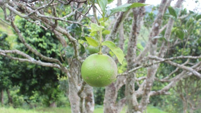 Junar Fruit.JPG