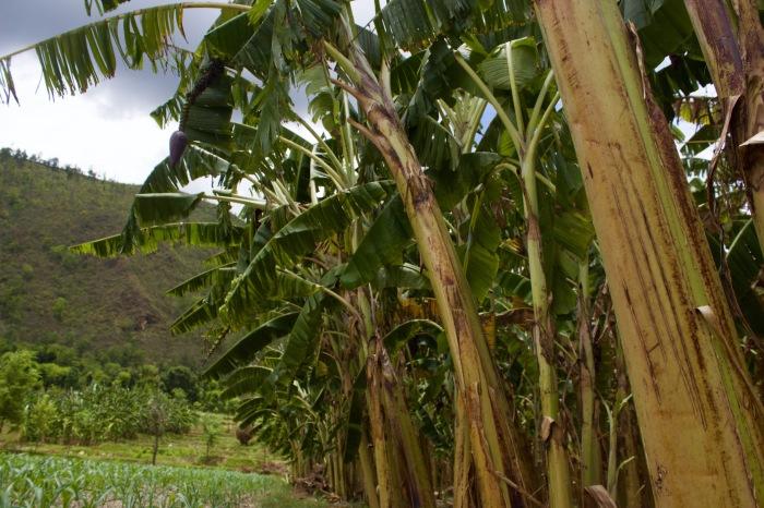 Banana Trees.jpg
