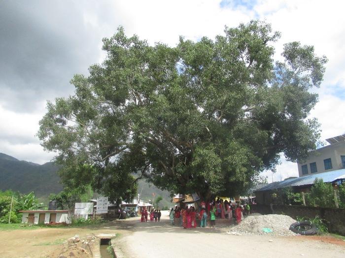 Pipal Tree, Gwaltar.JPG